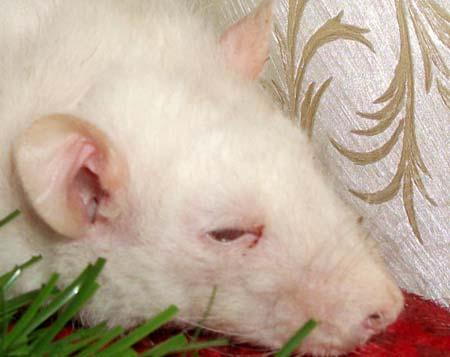 Воспаление глаз у крысы